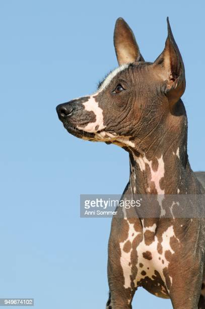 Perro sin pelo del Peru, Peruvian hairless dog, young animal, animal portrait