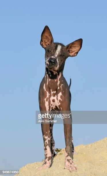 Perro sin pelo del Peru, Peruvian hairless dog, young animal