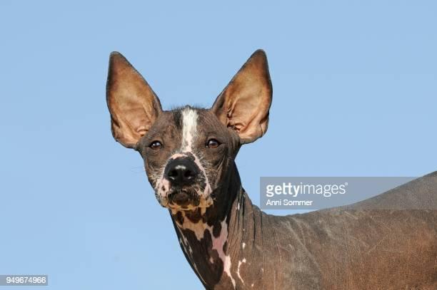 Perro sin pelo del Peru, Peruvian hairless dog, young dog, animal portrait
