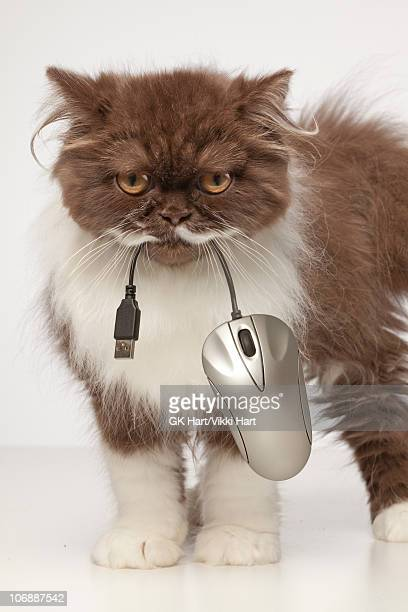 Persian Cat carrying computer mouse