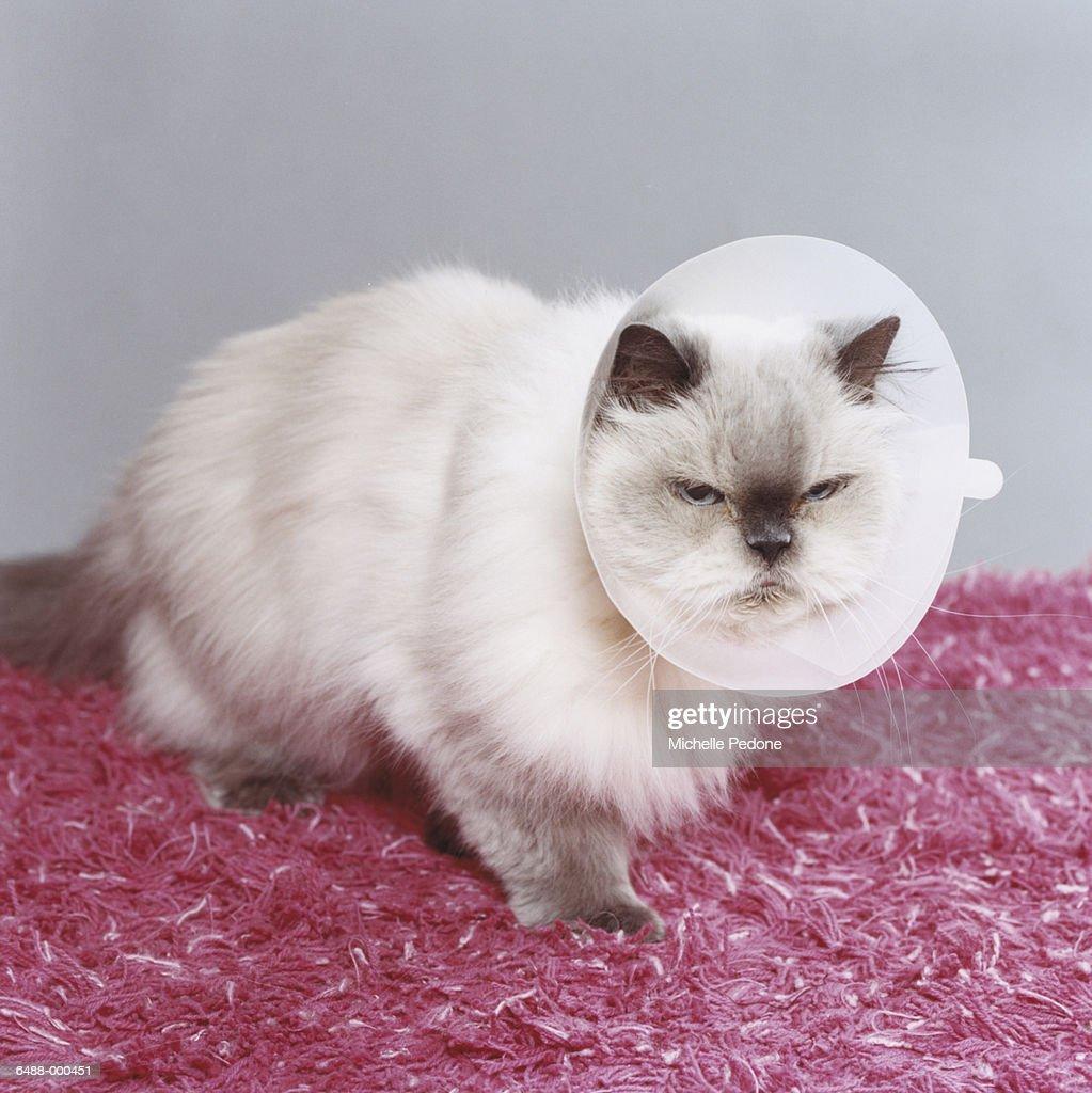 Persian Cat in Medical Collar : Stock Photo