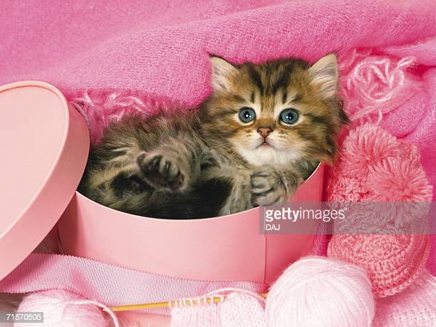 Persian Cat Lying in a Pink Box, Surrounded By Pink Objects, High Angle View