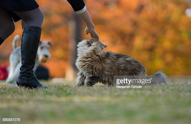 Persian cat petted by owner in park