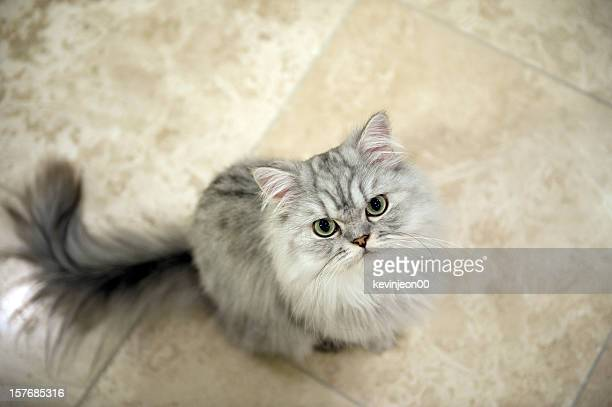 persian cat - persian stock photos and pictures