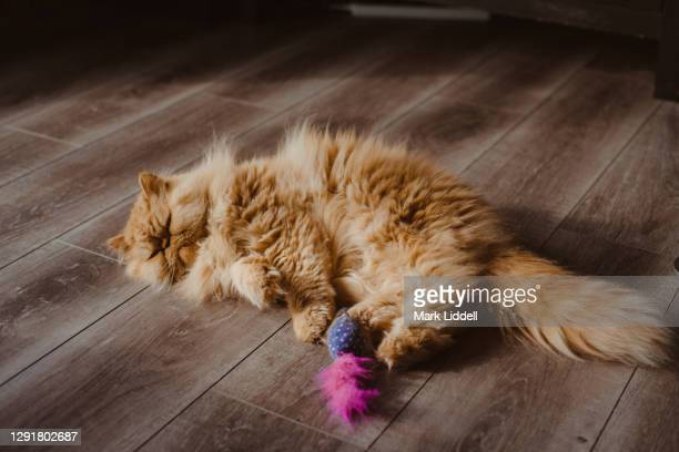 persian cat playing with a mouse toy - cat's toy stock pictures, royalty-free photos & images