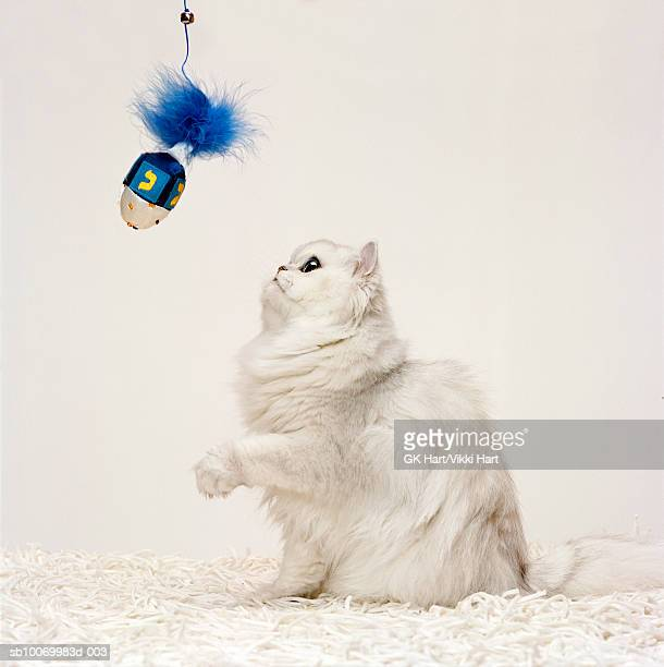 persian cat playing with dreidel - dreidel stock photos and pictures