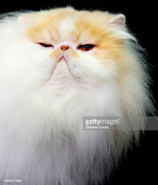 Persian cat Riascatz Dandy Lion earns winner of Supreme Cat 2018 participates in the GCCF Supreme Show at NEC Arena on October 27 2018 in Birmingham...