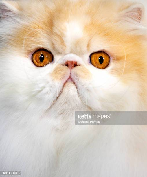 Persian cat Riascatz Dandy Lion earns winner of Supreme Cat 2018 in the GCCF Supreme Show at NEC Arena on October 27 2018 in Birmingham England