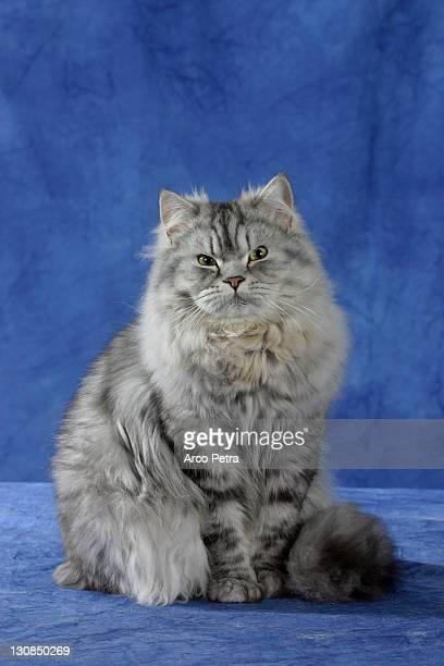 Persian Cat, silver-tabby