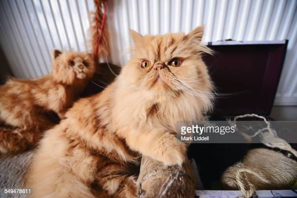 persian cat sitting beside toy box and stuffed toy - persian cat stock pictures, royalty-free photos & images