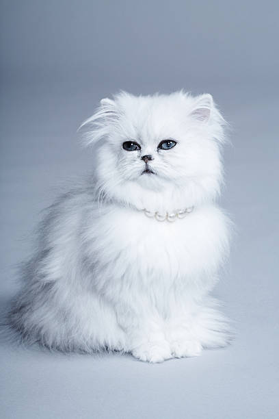 Persian Cat Sitting In Studio Wall Art