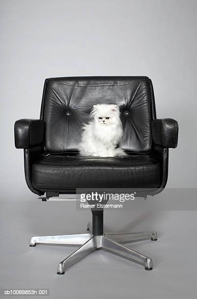 Persian cat sitting in studio