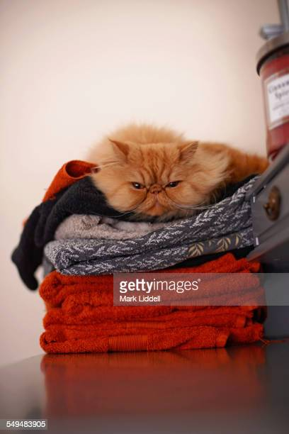 Persian cat sitting on a pile of towels