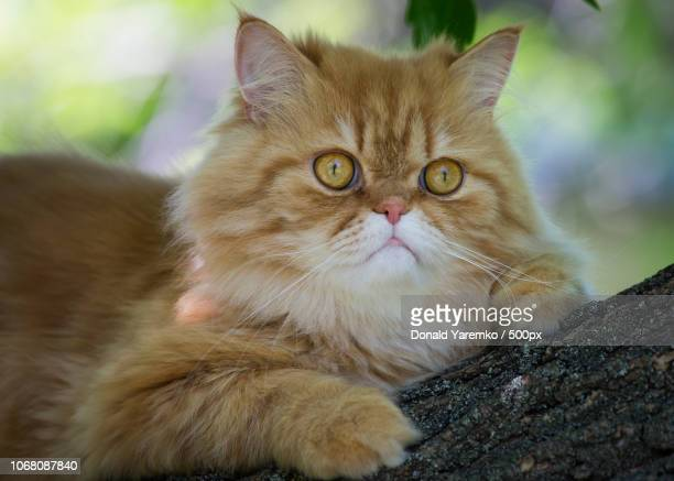 persian cat sitting on tree - persian cat stock pictures, royalty-free photos & images