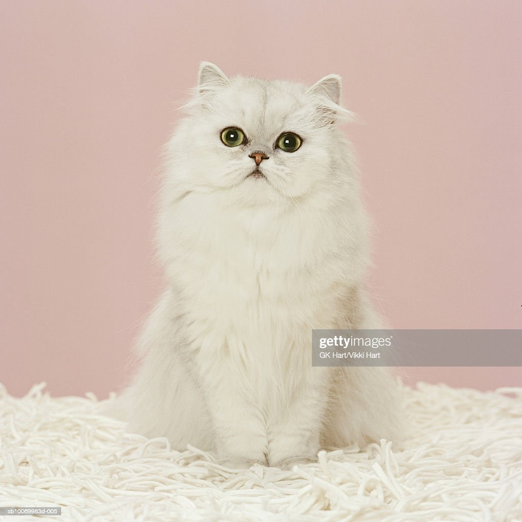 Persian cat  sitting on white rug, close-up : Stock Photo