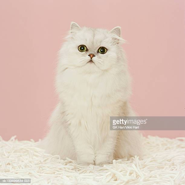 persian cat  sitting on white rug, close-up - persian stock photos and pictures