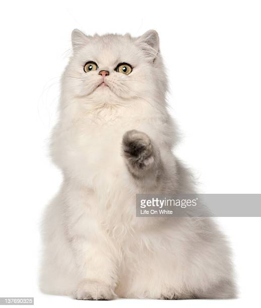 persian cat sitting - persian stock photos and pictures