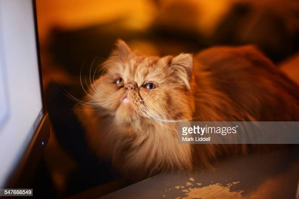 Persian cat watching TV