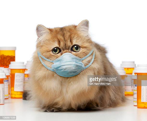 persian cat wearing germ mask - funny surgical mask stock pictures, royalty-free photos & images