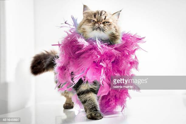 Persian cat  with boa