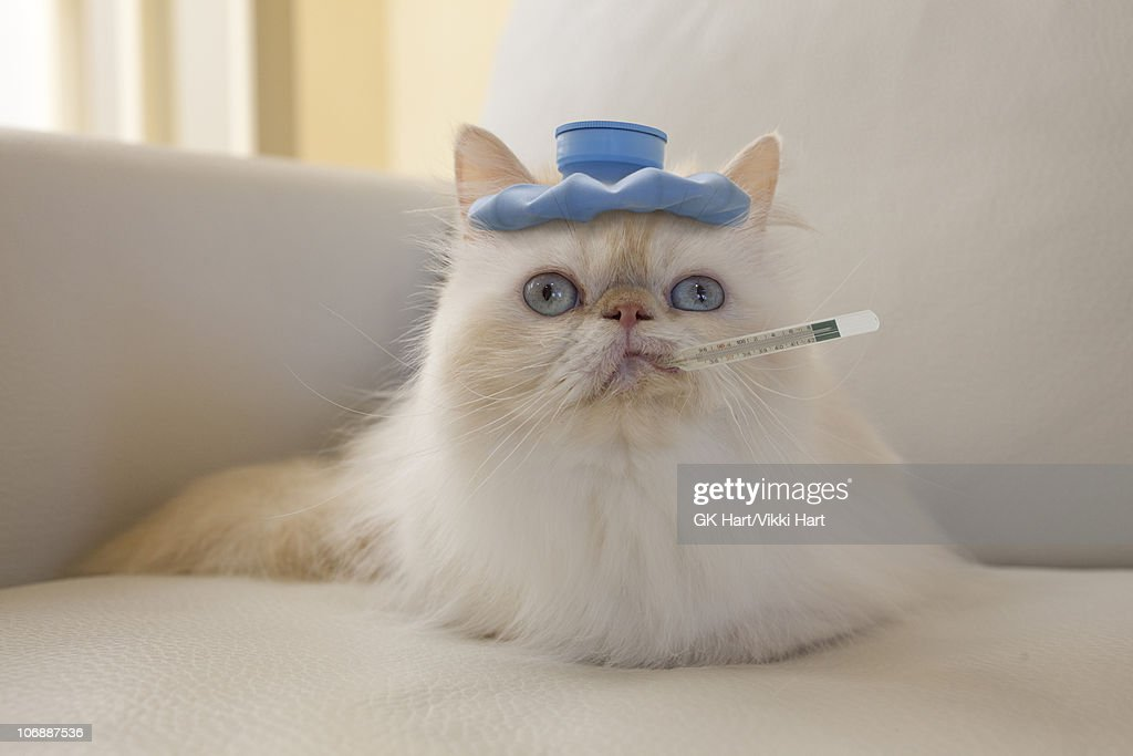 Persian Cat with Hot Water Bottle and Thermometer : Stock Photo