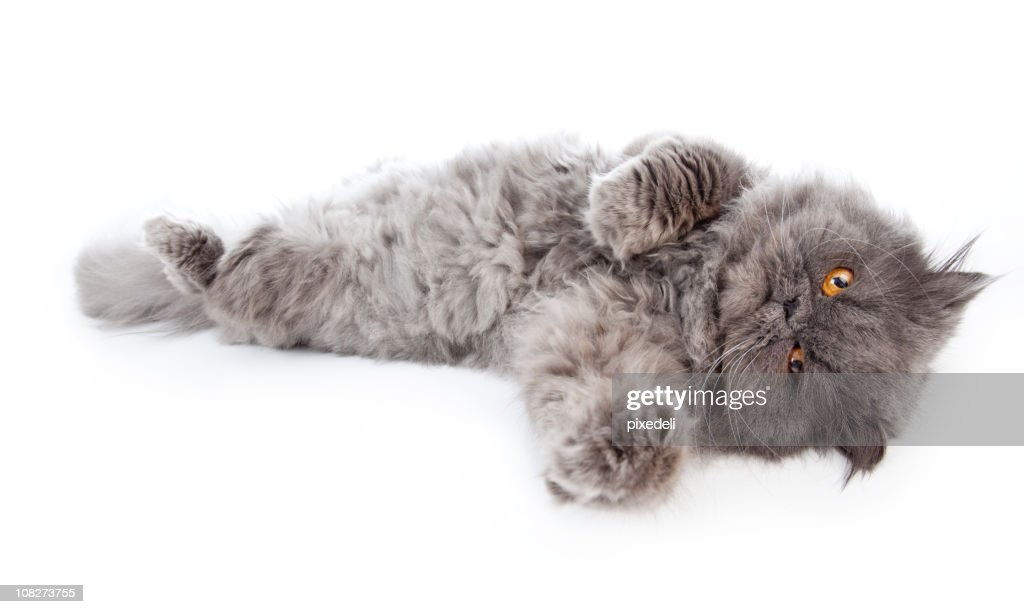 Persian Cat with Orange Eyes Laying Out, Isolated on White : Stock Photo