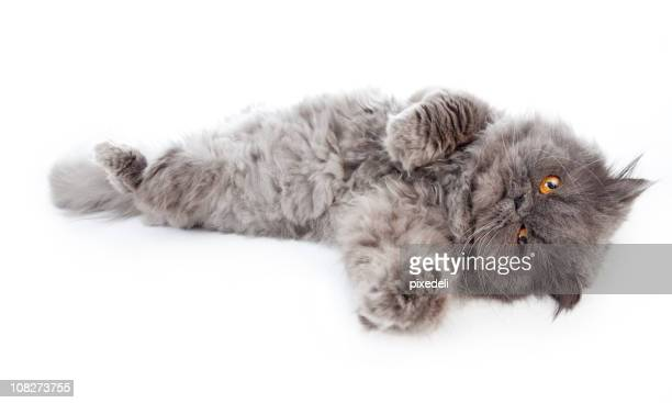 persian cat with orange eyes laying out, isolated on white - persian stock photos and pictures