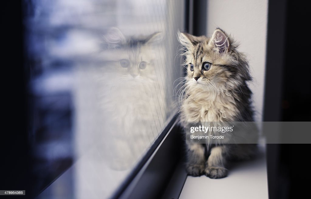 Persian kitten and reflection by window : Stock Photo