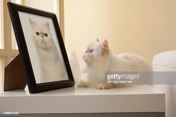 persian kitten looking at cat portrait - puss pics stock photos and pictures