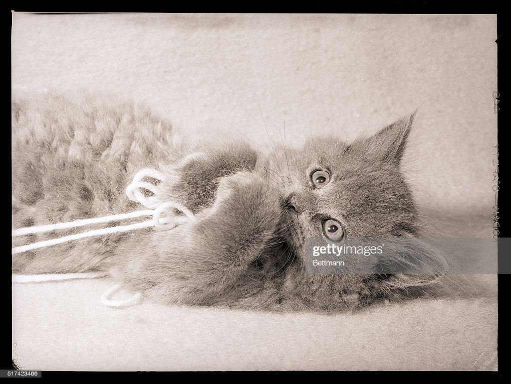 A Persian kitten on the floor, having fun with some yarn. Undated.