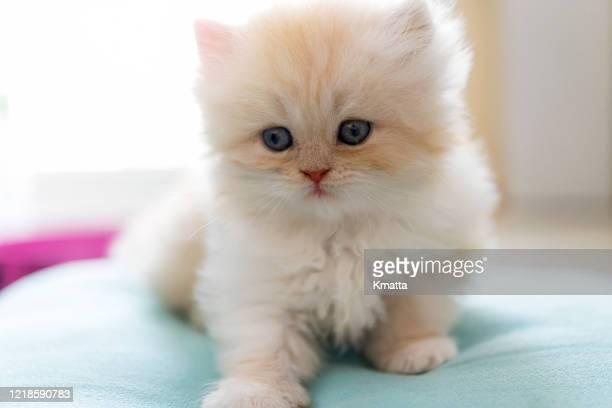 persian kitten - gattini appena nati foto e immagini stock