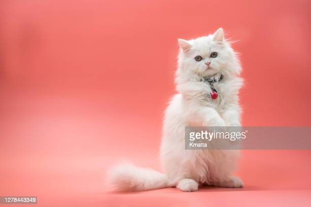 persian kitten - kitten stock pictures, royalty-free photos & images