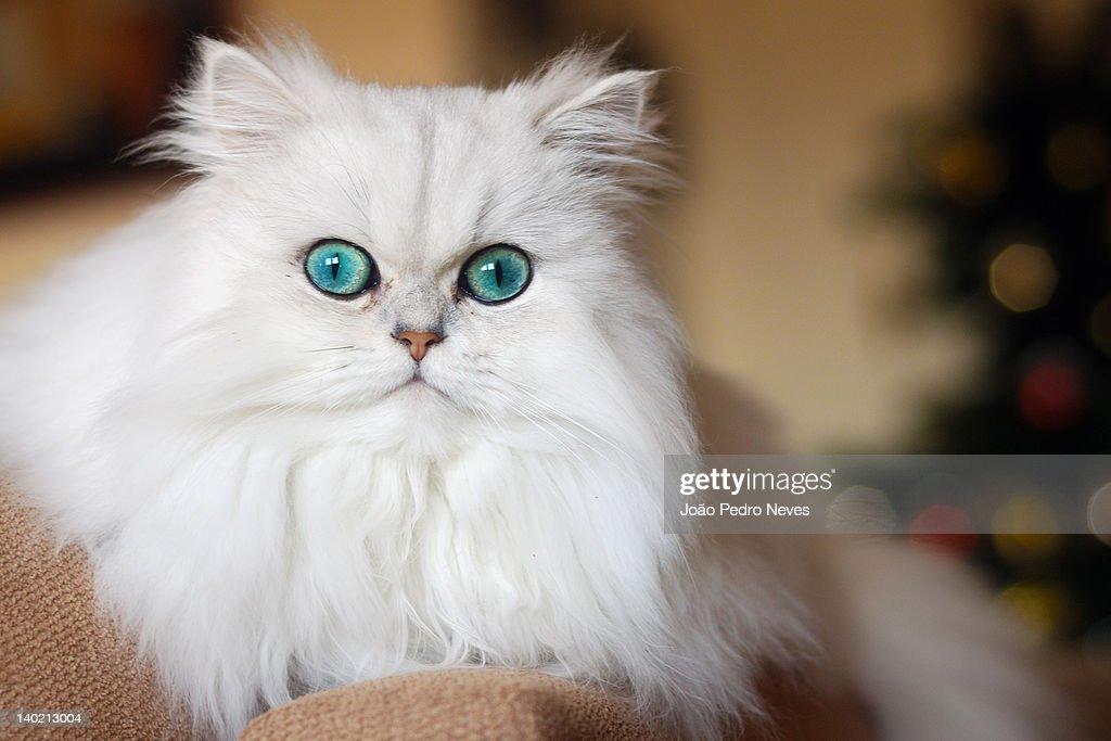 Persian kitten : Stock Photo