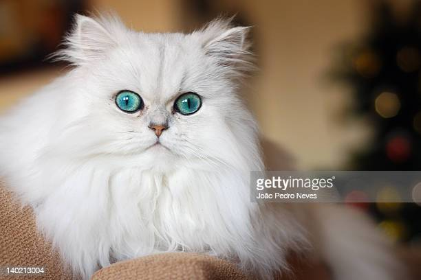 persian kitten - persian stock photos and pictures