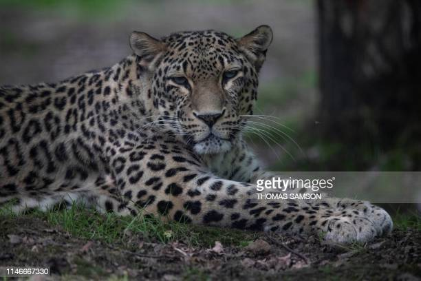 "Persian Leopard or Caucasian leopard sits in its pen on May 23 in the ""Parc des Felins"" zoological park, in Lumigny-Nesle-Ormeaux, east of Paris."