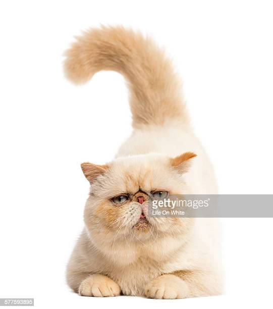 Persian lying in front of a white background