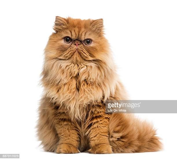 persian (7 months old) - persian stock photos and pictures