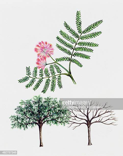 Persian silk tree Pink silk tree Mimosaceae tree with and without foliage leaves and flowers illustration