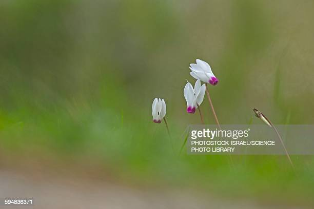 persian violets cyclamen persicum - photostock stock photos and pictures