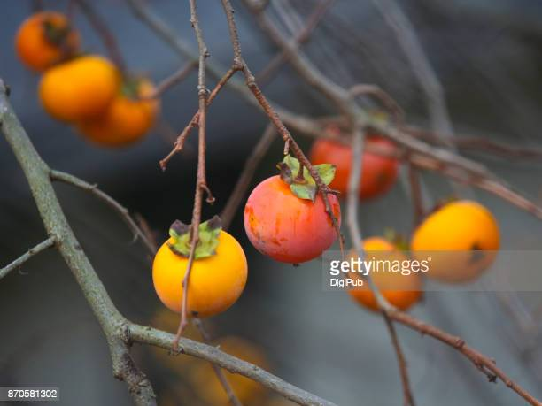 Persimmon fruits in the bare tree
