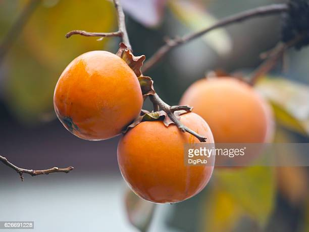 Persimmon fruits in the tree