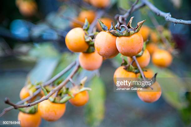 Persimmon tree bearing fruit
