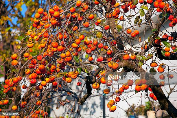 persimmon tree in autumn - fruit laden trees stock pictures, royalty-free photos & images