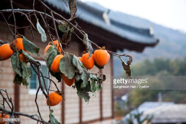 Persimmons Growing On Tree By House