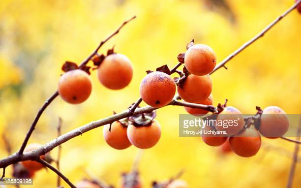 Persimmons in the ginkgo forest