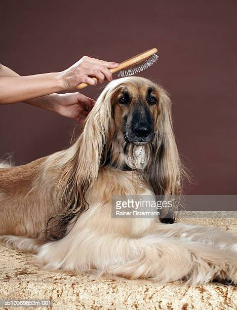 Person brushing Afgan Hound's hair in studio, view of dog