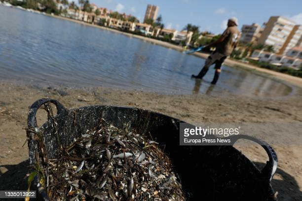 Person collects specimens of dead fish that have appeared in several areas of the Mar Menor, on 19 August, 2021 in Isla del Ciervo, Murcia, Spain....
