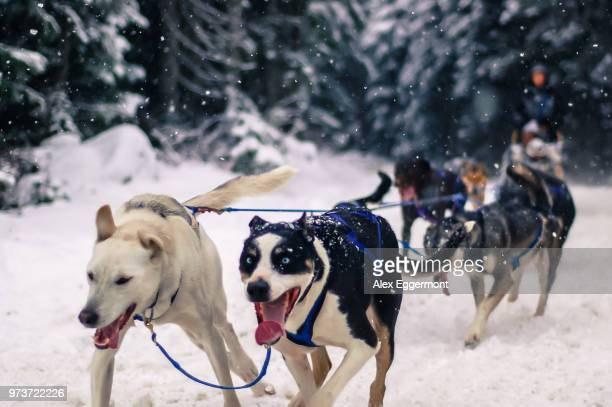 Person dog sledding, Whistler, British Columbia, Canada
