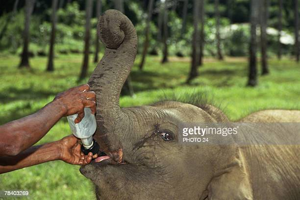person feeding an elephant calf - zoo keeper stock pictures, royalty-free photos & images