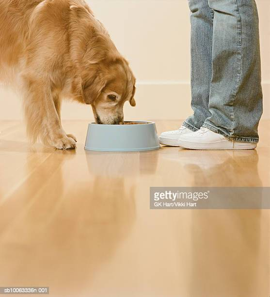 Person feeding Golden Retriever, low section